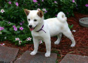 Shiba Inu Hundewelpen