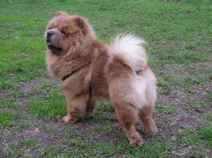 Chow Chow Hund auf einer Wiese