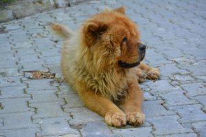 Chow Chow Hund in einer Hofeinfahrt