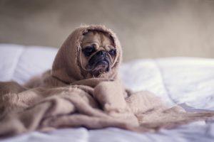Mops Hund unter einer Decke